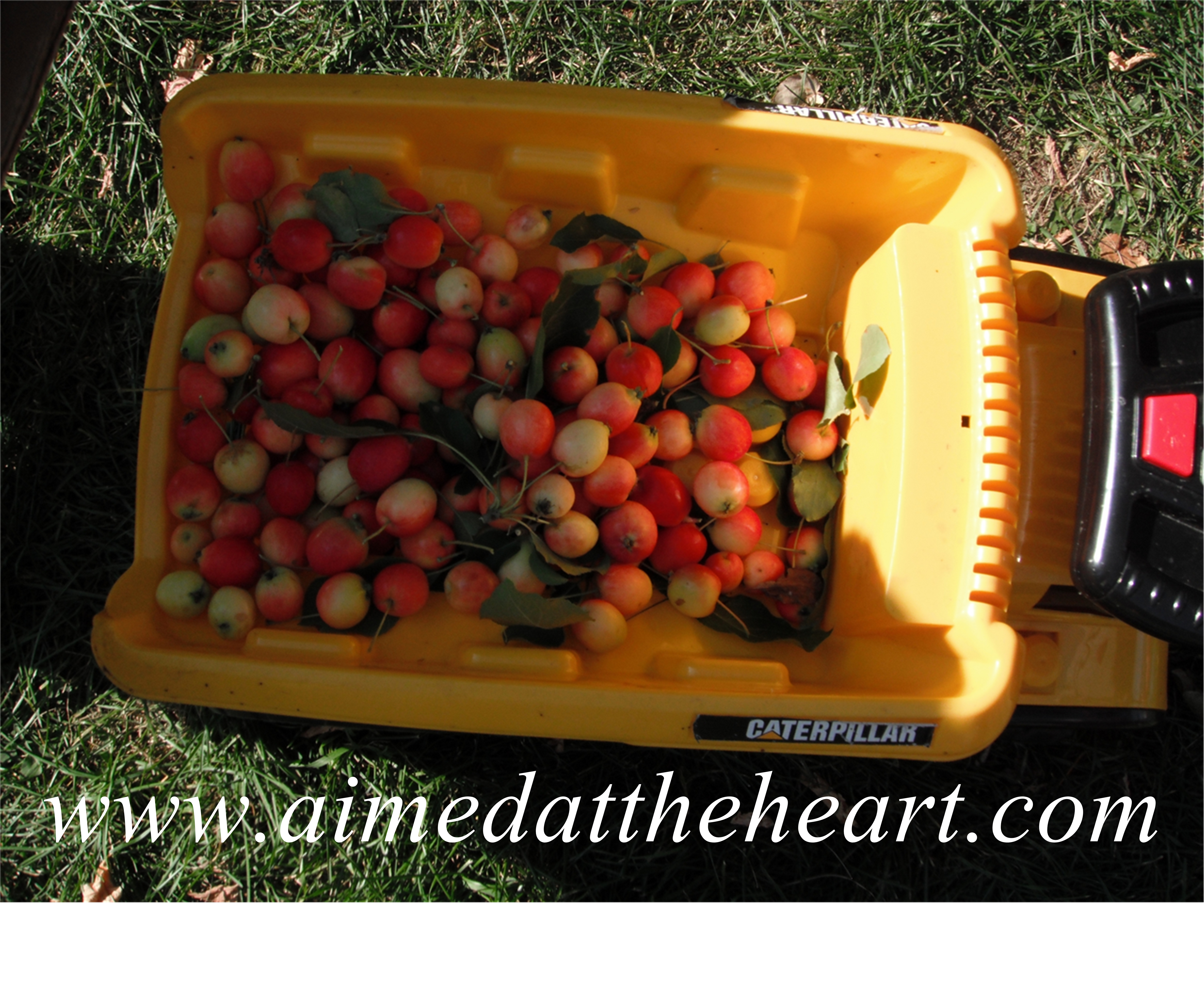 picking crab apples with little helpers